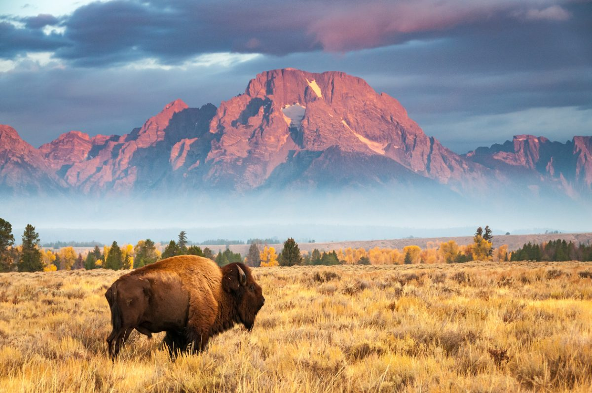 Bison Stands Before Mount Moran
